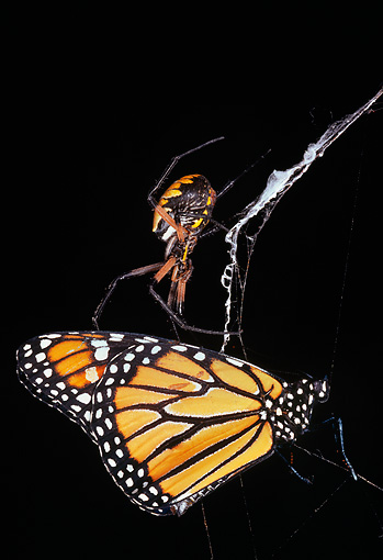 INS 01 LS0005 01 © Kimball Stock Monarch Butterfly Caught In Spider's Web
