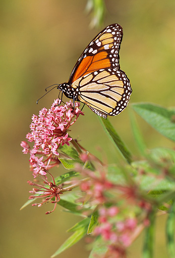 INS 01 LS0006 01 © Kimball Stock Monarch Butterfly Standing On Pink Flowers
