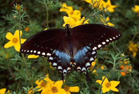 INS 01 RD0052 01 © Kimball Stock Spicebush Swallowtail On Yellow Flowers
