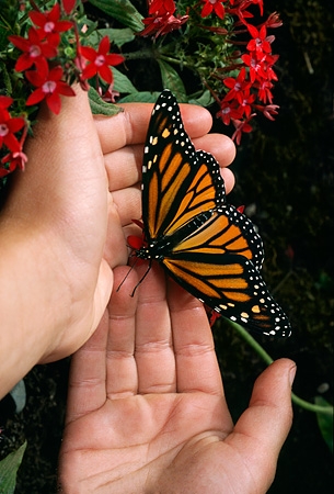 INS 01 RD0065 01 © Kimball Stock Monarch On Childs Hand