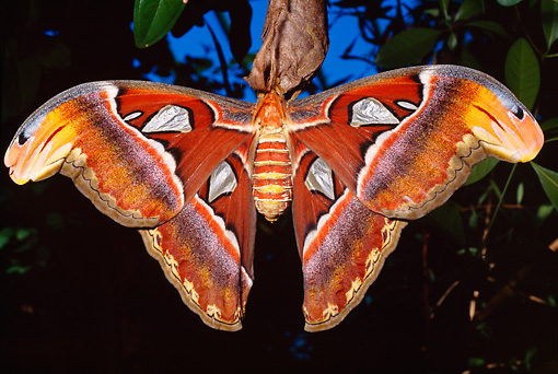 INS 01 RD0068 01 © Kimball Stock Atlas Moth At Night