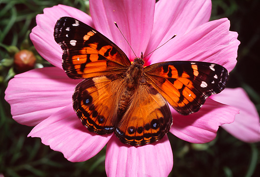 INS 01 RD0069 01 © Kimball Stock American Painted Lady Butterfly On Pink Flower