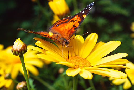 INS 01 RD0070 01 © Kimball Stock American Painted Lady Butterfly On Yellow Flower