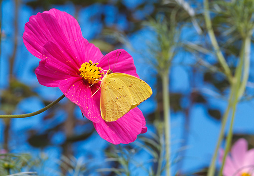 INS 01 RD0073 01 © Kimball Stock Cloudless Giant Sulphur Butterfly On Flower