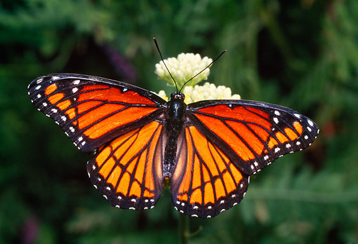 INS 01 RD0074 01 © Kimball Stock Viceroy Butterfly On Flower