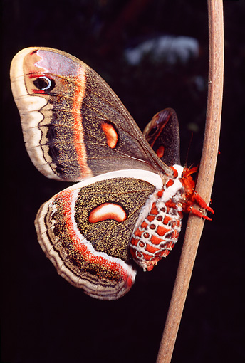 INS 01 RD0076 01 © Kimball Stock Cecropia Moth On Stem