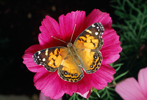 INS 01 RD0078 01 © Kimball Stock American Painted Lady Butterfly Sitting On Pink Flower