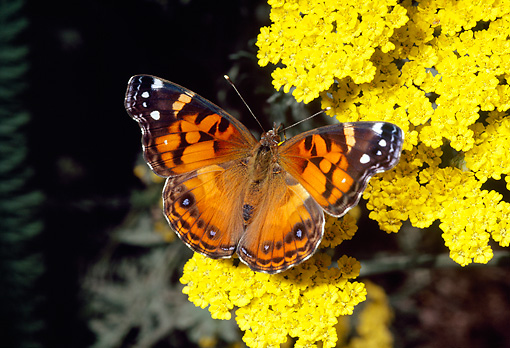 INS 01 RD0080 01 © Kimball Stock American Painted Lady Butterfly Sitting On Yellow Flower