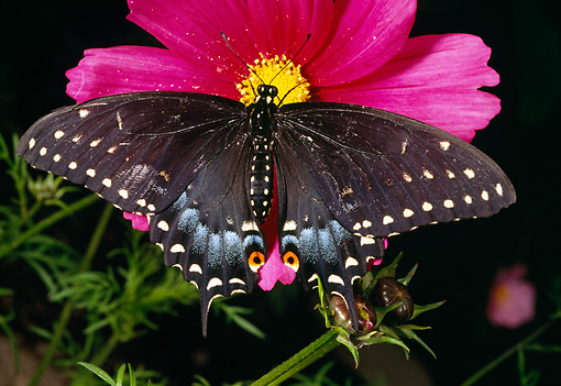 INS 01 RD0081 01 © Kimball Stock Eastern Black Swallowtail Butterfly Sitting On Pink Flower