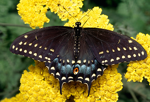 INS 01 RD0082 01 © Kimball Stock Eastern Black Swallowtail Butterfly Sitting On Yellow Flower