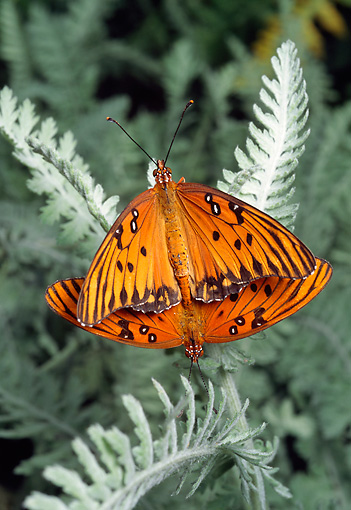 INS 01 RD0083 01 © Kimball Stock Gulf Fritillary Butterflies Mating On Leaf