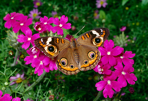 INS 01 RD0087 01 © Kimball Stock Buckeye Butterfly Sitting On Pink Flowers