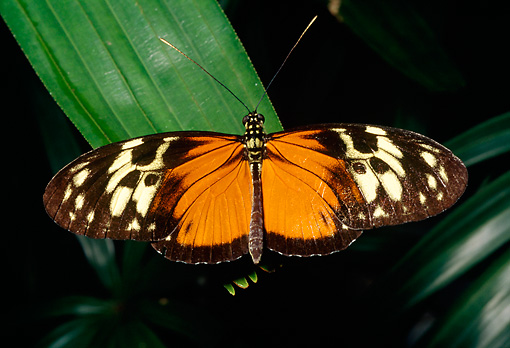 INS 01 RD0088 01 © Kimball Stock Tiger Butterfly Sitting On Leaf