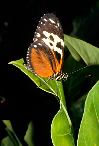 INS 01 RD0089 01 © Kimball Stock Tiger Butterfly Sitting On Leaf