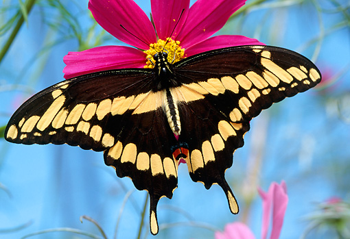 INS 01 RD0091 01 © Kimball Stock Giant Swallowtail Butterfly Sitting On Pink Flower
