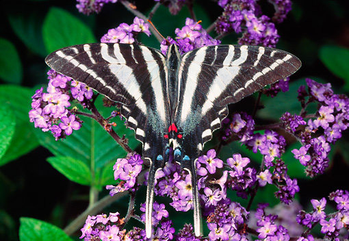 INS 01 RD0094 01 © Kimball Stock Zebra Swallowtail Butterfly Sitting On Lavender Flowers