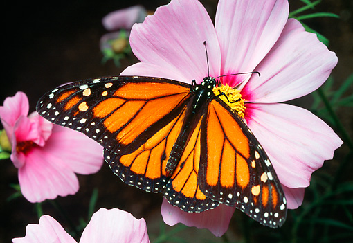 INS 01 RD0095 01 © Kimball Stock Monarch Butterfly Sitting On Pink Flowers