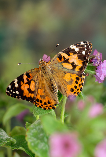 INS 01 TK0001 01 © Kimball Stock Painted Lady Butterfly Sitting On Lavender Flowers