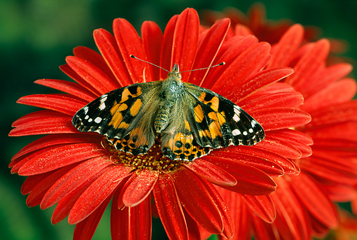 INS 01 TK0002 01 © Kimball Stock Painted Lady Butterfly Sitting On Red Flower