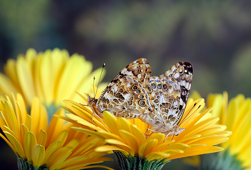 INS 01 TK0003 01 © Kimball Stock Two Painted Lady Butterflies Sitting On Yellow Flower