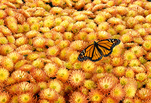 INS 01 TK0004 01 © Kimball Stock Monarch Butterfly Sitting On Yellow-Orange Flowers