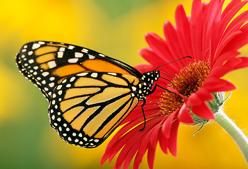 INS 01 TK0005 01 © Kimball Stock Monarch Butterfly Sitting On Red Flower