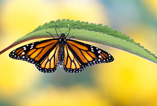 INS 01 TK0006 01 © Kimball Stock Monarch Butterfly Sitting Upside-Down Under Leaf