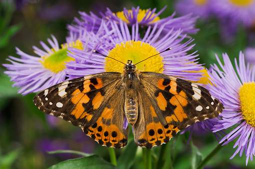 INS 01 TK0014 01 © Kimball Stock American Painted Lady Butterfly Sitting On Purple Flower Wings Open