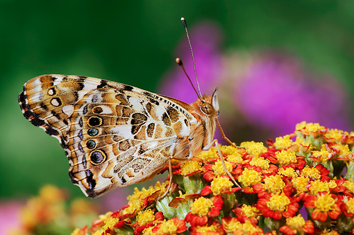 INS 01 TK0015 01 © Kimball Stock American Painted Lady Butterfly Sitting On Orange Flower Wings Closed