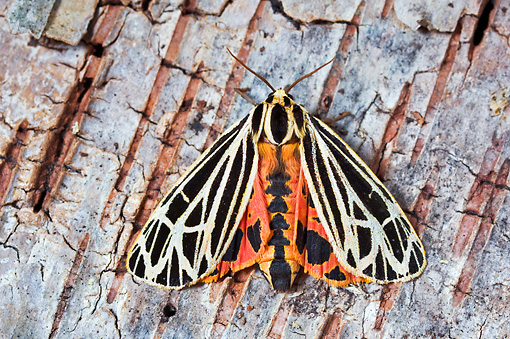 INS 01 TK0016 01 © Kimball Stock Parthenice Tiger Moth Sitting On Bark Wings Open