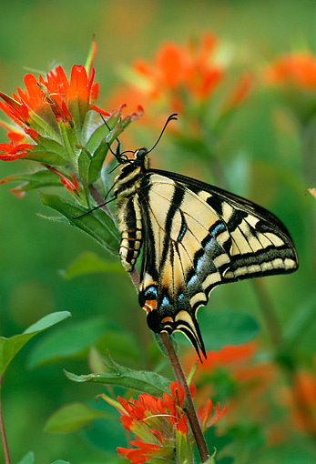 INS 01 TL0001 01 © Kimball Stock Western Swallowtail Butterfly By Flower