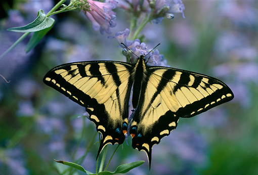 INS 01 TL0002 01 © Kimball Stock Western Swallowtail Butterfly By Flower