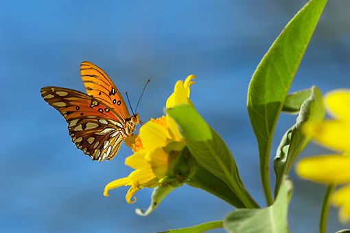 INS 01 TL0006 01 © Kimball Stock Gulf Fritillary Butterfly Gathering Nectar On Flower Desert Autumn