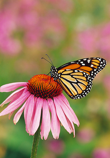 INS 01 TL0007 01 © Kimball Stock Monarch Butterfly Resting On Purple Flower