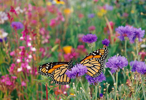 INS 01 TL0009 01 © Kimball Stock Two Monarch Butterflies Resting On Wildflower