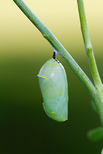 INS 02 DA0005 01 © Kimball Stock Monarch Butterfly Chrysalis On Stem
