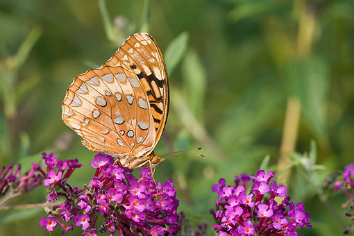 INS 02 DA0007 01 © Kimball Stock Great Spangled Fritillary Perched On Butterfly Bush