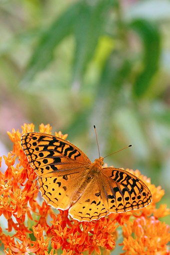 INS 02 DA0009 01 © Kimball Stock Great Spangled Fritillary Perched On Butterfly Milkweed