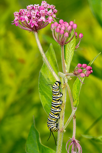 INS 02 LS0001 01 © Kimball Stock Monarch Butterfly Caterpillar Climbing Swamp Milkweed North Guilford, Connecticut