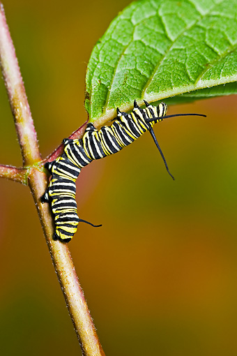 INS 02 TK0003 01 © Kimball Stock Monarch Butterfly Caterpillar Climbing Up Stem