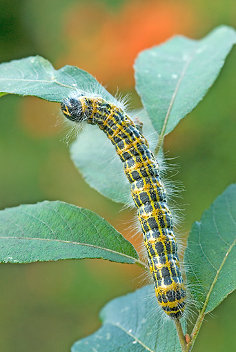 INS 02 WF0013 01 © Kimball Stock Buff-Tip Moth Caterpillar Eating Leaf