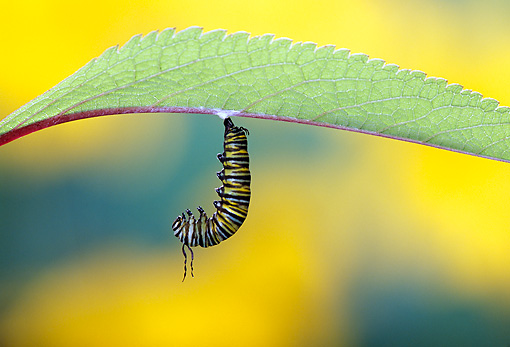 INS 02 TK0001 01 © Kimball Stock Monarch Butterfly Caterpillar Hanging Upside-Down Under Leaf