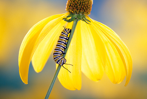 INS 02 TK0002 01 © Kimball Stock Monarch Butterfly Caterpillar Climbing Down Flower Stem