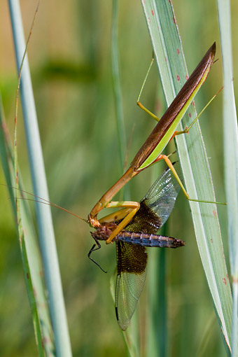 INS 03 DA0001 01 © Kimball Stock Praying Mantis Eating Widow Skimmer Dragonfly In Grass