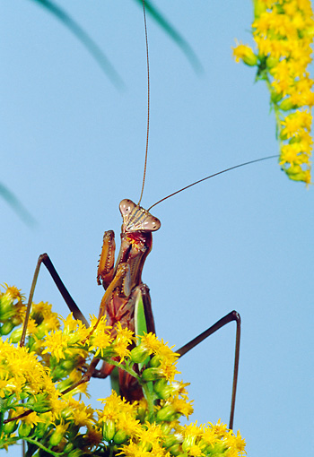 INS 03 MC0002 01 © Kimball Stock Chinese Mantis Perched On Yellow Blossoms