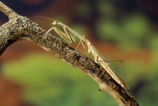 INS 03 WF0005 01 © Kimball Stock Madagascan Marbled Mantis Sitting On Branch