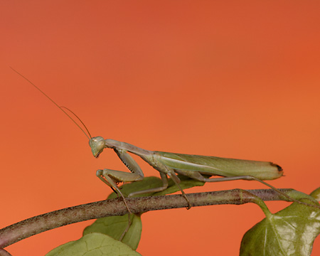 INS 03 RK0002 01 © Kimball Stock Praying Mantis