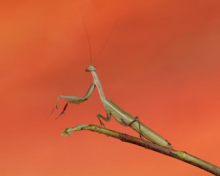 INS 03 RK0004 04 © Kimball Stock Praying Mantis