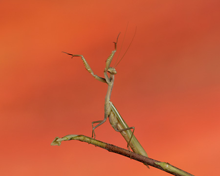 INS 03 RK0005 01 © Kimball Stock Praying Mantis