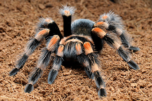 INS 04 AC0004 01 © Kimball Stock Mexican Red-Kneed Tarantula Crawling Over Ground